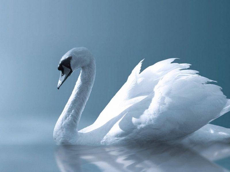 El Cisne Blanco-417152_800